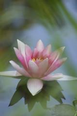 'Lotus 1' flickrcc.net